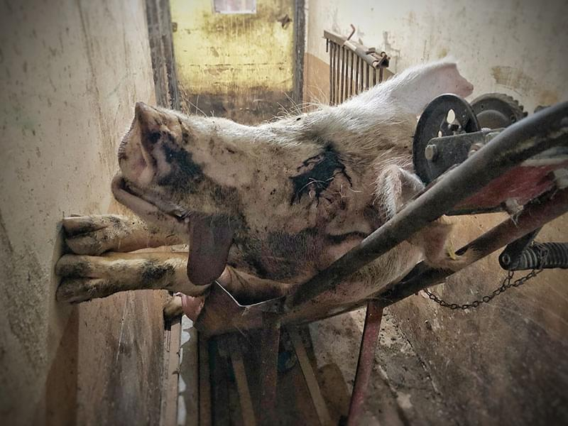 Face of killed pig on the body removal cart